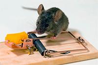 Как избавиться от мышей и крыс на даче?