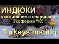 """Ухаживание и спаривание индюков - экоферма """"К5"""""""
