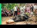 African Cow Sacrifice!!! Rare Tradition Feeds Hundreds!