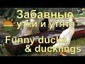 """Забавные утки и утята - экоферма """"К5"""""""