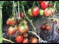 Обзор сортов томатов. Часть 1