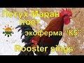 "Петух Маран поет - экоферма ""К5"""