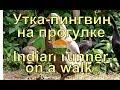 "Утки-пингвин (индийский бегун) на прогулке - экоферма ""К5"""