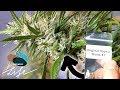Indoor Cannabis  Grow -  Leidenschaft eines Gärtners für unterschiedliche Genetiken 🌿
