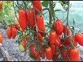 Сорта томатов для теплиц. Часть 4