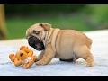 Bulldog video 2017 (смешные бульдоги видео)