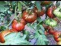 Обзор сортов томатов с видом в разрезе