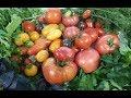 Обзор томатов открытого грунта. Что понравилось, а что и не очень.