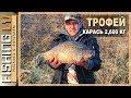 Улов трофейного карася, заводь на реке, рыбалка на линя   Karūsu cope! 2,605 kg, un Līnis
